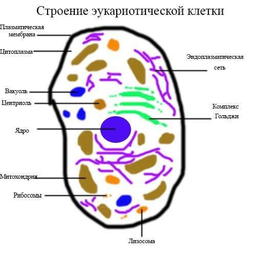 Общая схема строения клетки фото 853